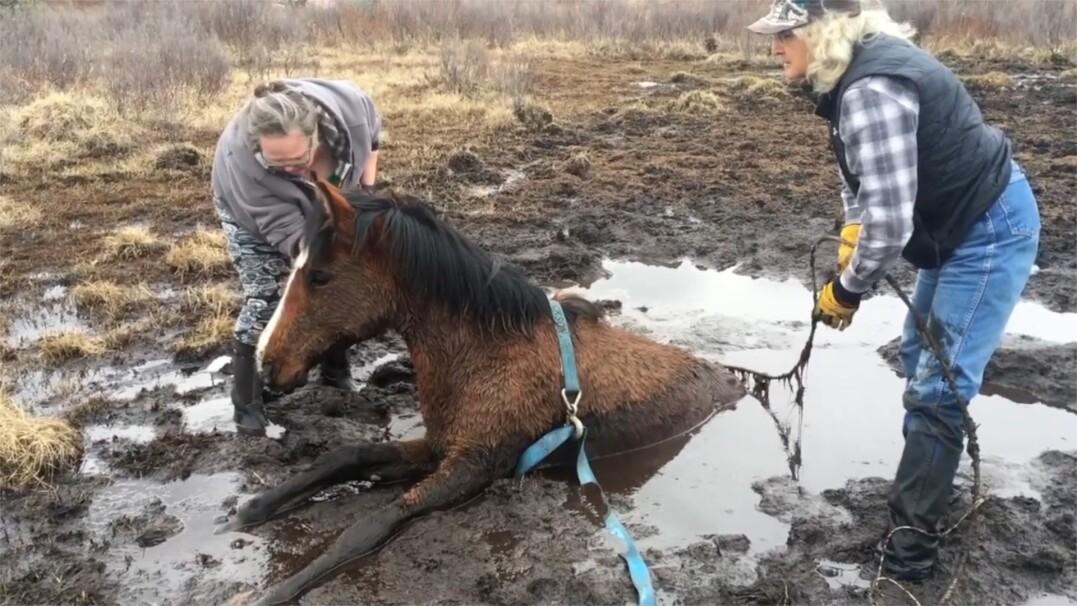 Dziki koń utknął w bagnie. Zobacz akcję ratowania zwierzęcia