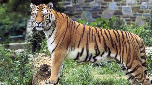 Czterech kłusowników zginęło w strzelaninie. Polowali na tygrysy i oreczki