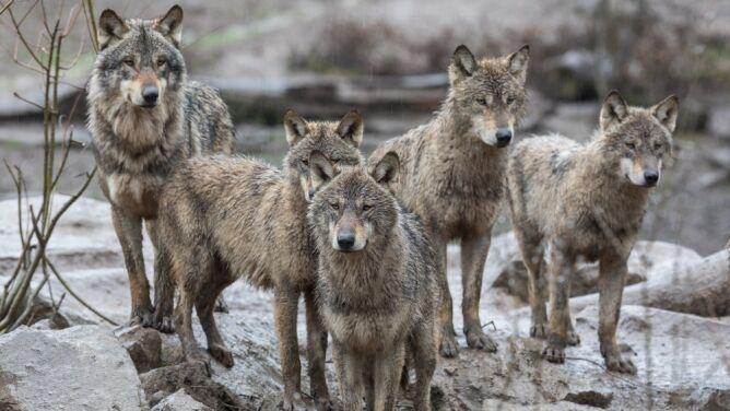 Wilki szare przetrwały wymieranie podczas ostatniej epoki lodowcowej. Wiadomo, dlaczego